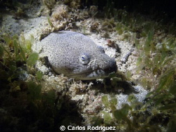 2/202012 Night Dive: Spotted Snake Eel hidding in the san... by Carlos Rodriguez 